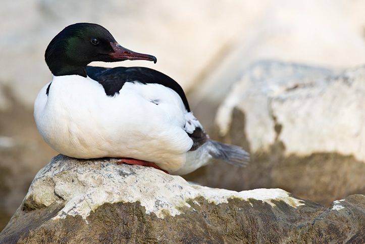 Photo of male Goosander (Mergus merganser) sitting on a rock taken with the new Nikon D800 and the 600mm VR f4