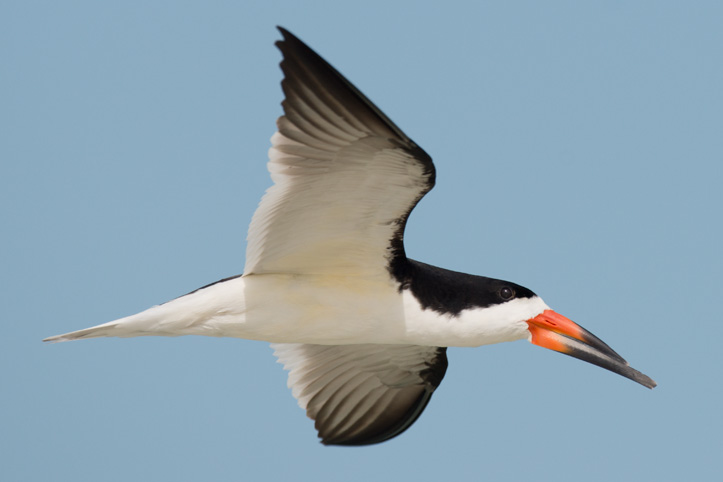 Photo of a skimmer in flight (Rynchops niger)