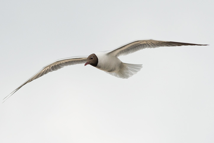 Photo of a Black-headed Gull in Flight