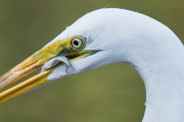 Photo of egret with fish in beak