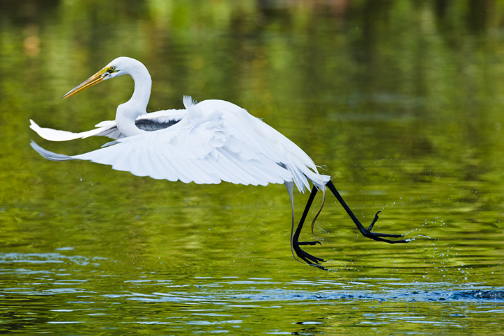Flying Great Egret (Ardea alba) with fish in beak