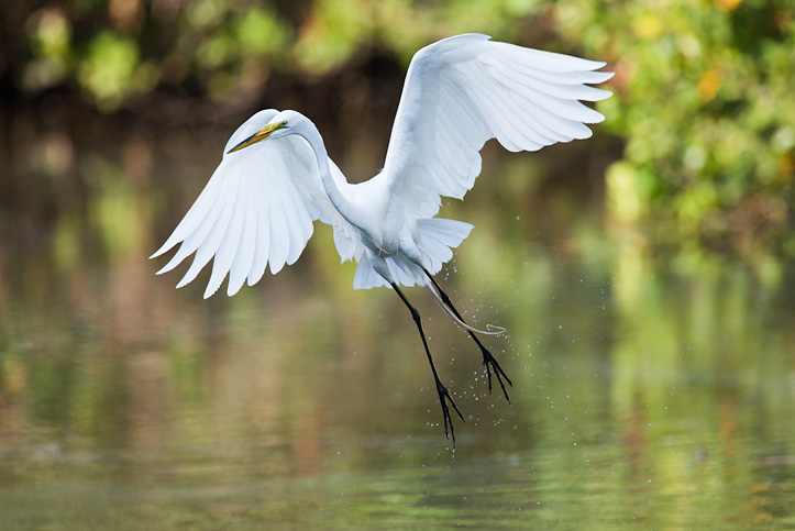 Photo of a Great Egret in flight