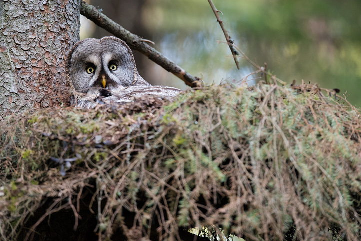Photo of a female Great Grey Owl on the nest.
