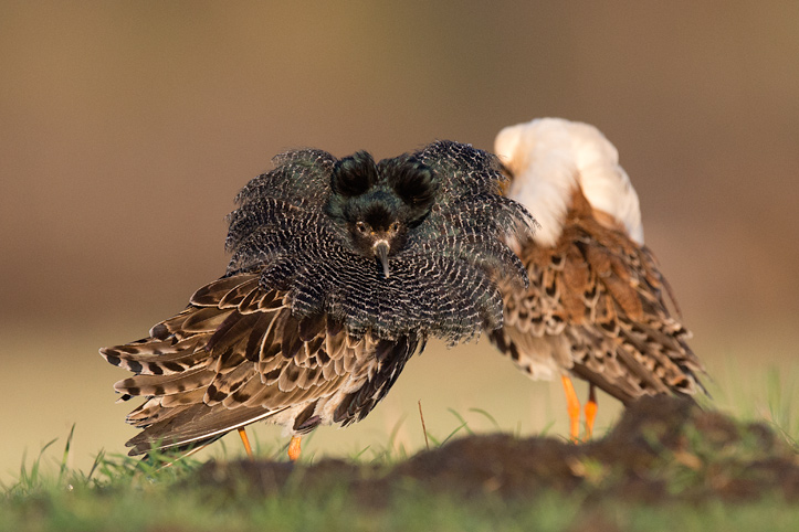 Photo of two male ruffs