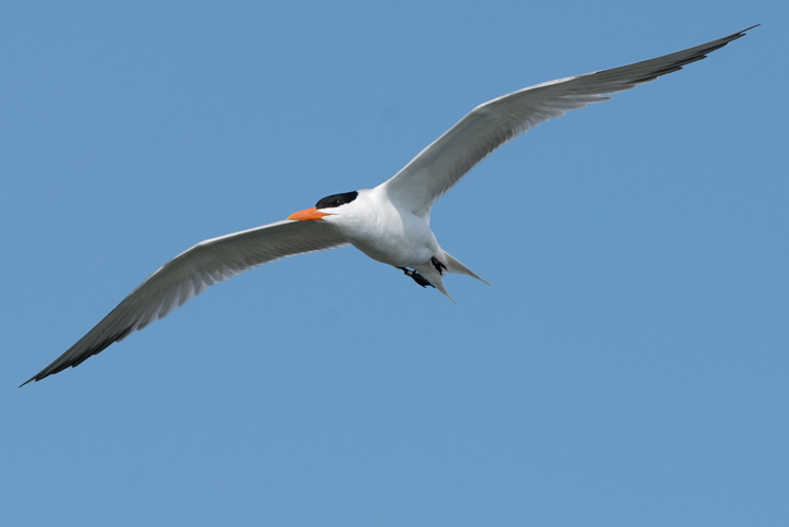 Photo of flying Royal Tern