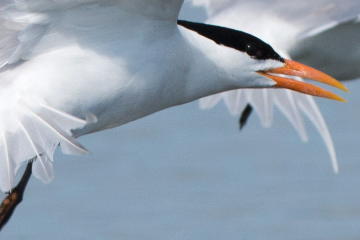 Photo of Royal Terns (Sterna maxima) taking off