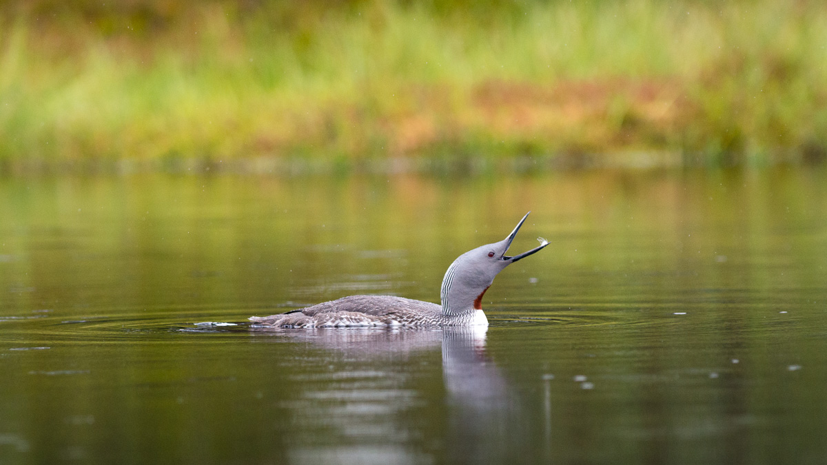Swimming Red-throated Diver (Gavia stellata)