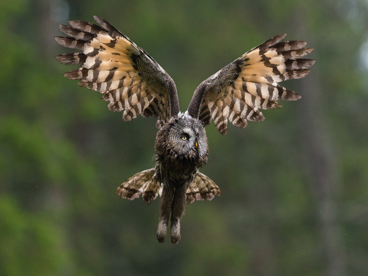 Great Grey Owl (Strix nebulosa) in flight