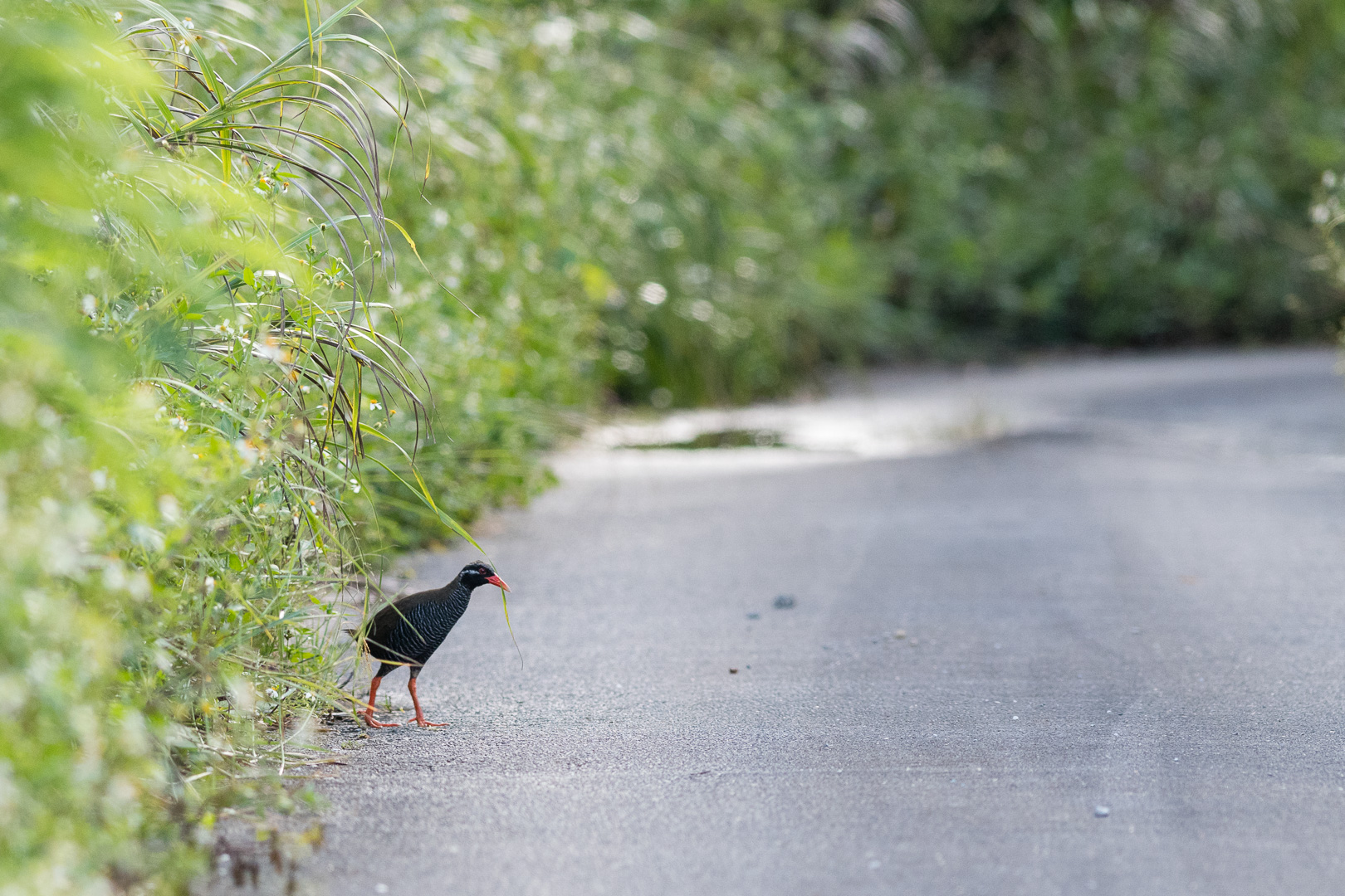 photo of an Okinawa rail