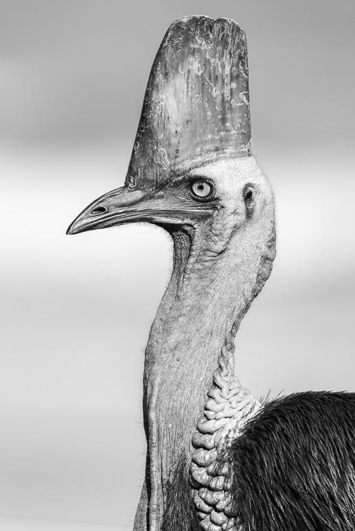 Foto eines Helmkasuars (Casuarius casuarius)